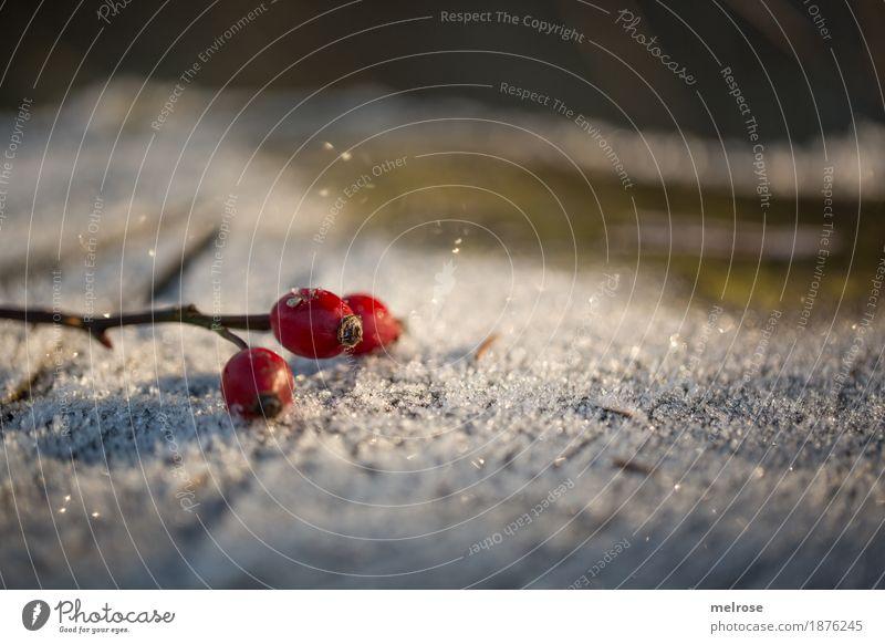 """""""Hagebutten-Eistee"""" Natur Pflanze weiß Sonne rot Winter Wald Umwelt kalt Blüte Schnee Stil Frucht glänzend elegant"""