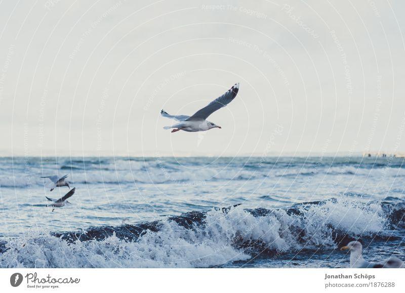Möwen in Binz VII Himmel blau Wasser Meer Ferne Strand Winter kalt Freiheit Vogel fliegen Sand Wellen Aussicht Tiergruppe Rücken