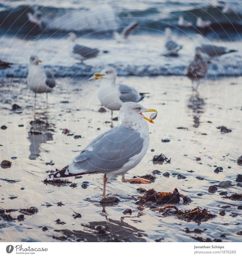 Möwen in Binz V blau Wasser Meer Strand Winter kalt Vogel Sand Wellen Erfolg Tiergruppe beobachten Ostsee Rügen Schnabel