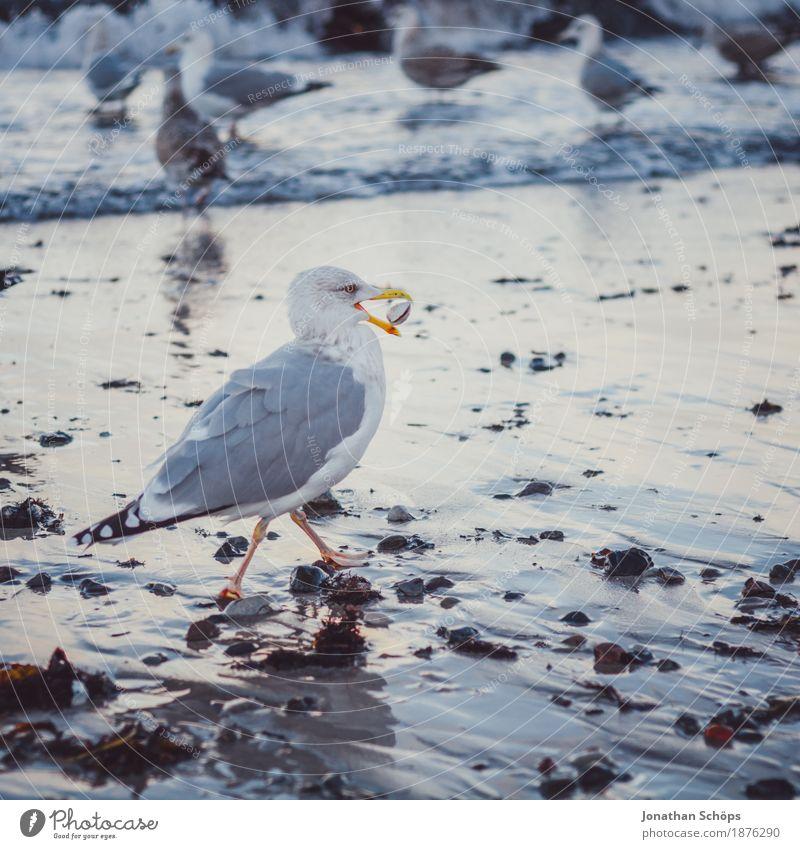Möwen in Binz IV Strand Meer Wellen Winter Erfolg Sand Wasser Ostsee Vogel 1 Tier Tiergruppe Schwarm beobachten Fressen kalt blau Möwenvögel Rügen Nahrungssuche