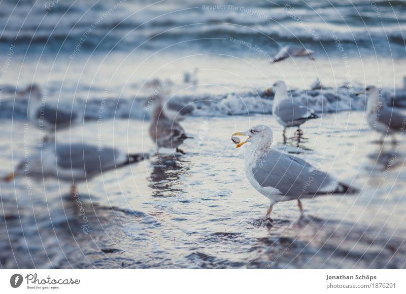 Möwen in Binz III Strand Meer Wellen Winter Erfolg Sand Wasser Ostsee Vogel Tiergruppe Schwarm beobachten Fressen kalt blau Möwenvögel Rügen Nahrungssuche