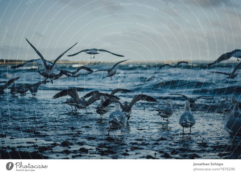 Möwen in Binz VII Himmel blau Wasser Meer Ferne Strand Winter dunkel kalt Traurigkeit Freiheit Vogel fliegen Sand Wellen Aussicht