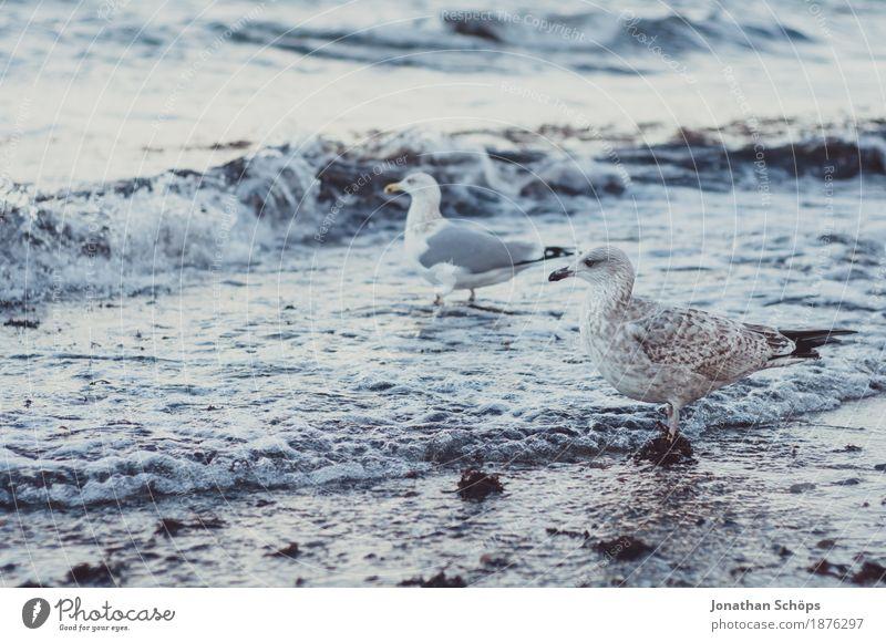 Möwen in Binz II Vogel Tiergruppe 2 Möwenvögel Winter kalt blau Ostsee Rügen Strand Wasser Meer Sand Nahrungssuche laufen beobachten Schnabel Fressen Erfolg