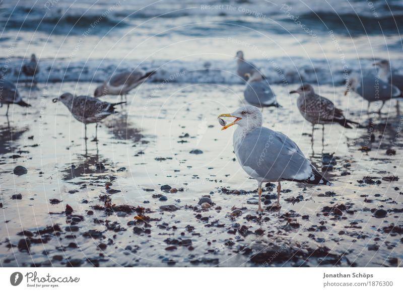 Möwen in Binz I Vogel Tiergruppe Schwarm Muschel Möwenvögel Winter kalt blau Ostsee Rügen Strand Wasser Meer Sand Nahrungssuche laufen beobachten Schnabel