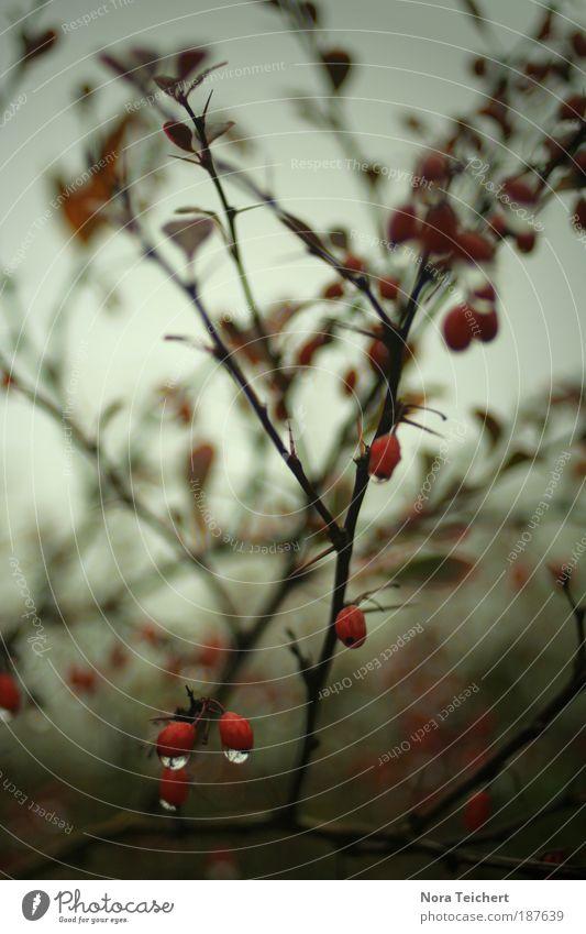 Einer dieser Tage ... Umwelt Natur Landschaft Pflanze Sommer Herbst Regen Sträucher Blatt Blüte Wildpflanze Park atmen träumen Traurigkeit weinen stachelig