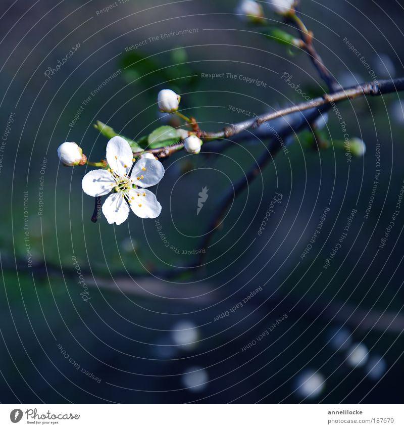 Zierapfel Natur schön Baum Pflanze Blatt Blüte Frühling Glück Park Umwelt Hoffnung Wachstum zart Blühend Duft Zeit