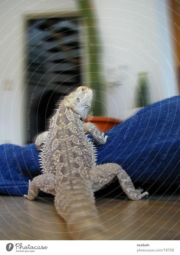 Brunhilde 2 Drache Reptil Echsen Echte Eidechsen Bart-Agame