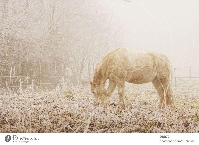 Wintermorgen auf der Weide Natur Baum Landschaft Tier ruhig Winter kalt Leben Herbst Wiese natürlich Gras Schnee hell Nebel Eis