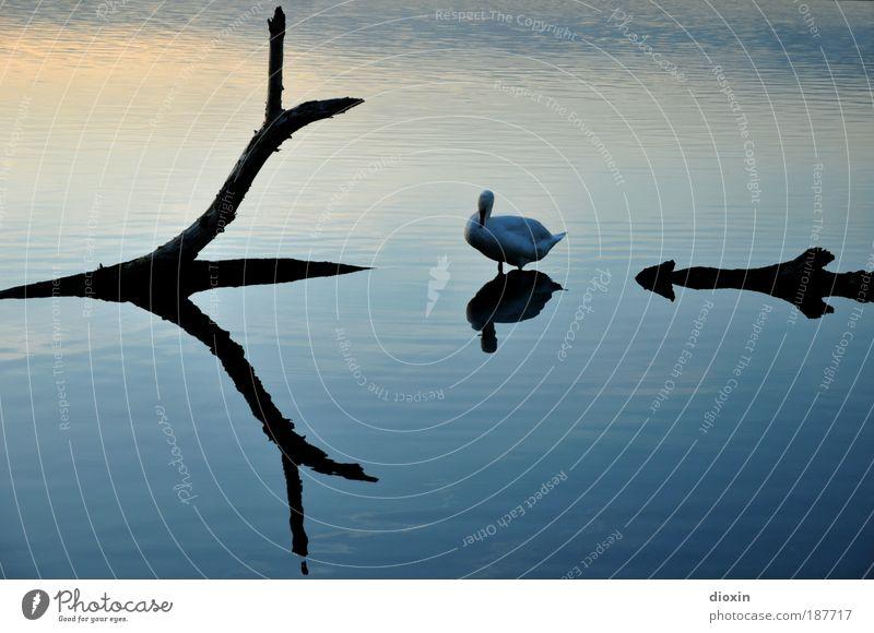 blaue Stunde - 3. Der Schwan harmonisch ruhig Umwelt Natur Tier Wasser Pflanze Baum See Wildtier Vogel Flügel 1 Erholung hocken warten ästhetisch elegant