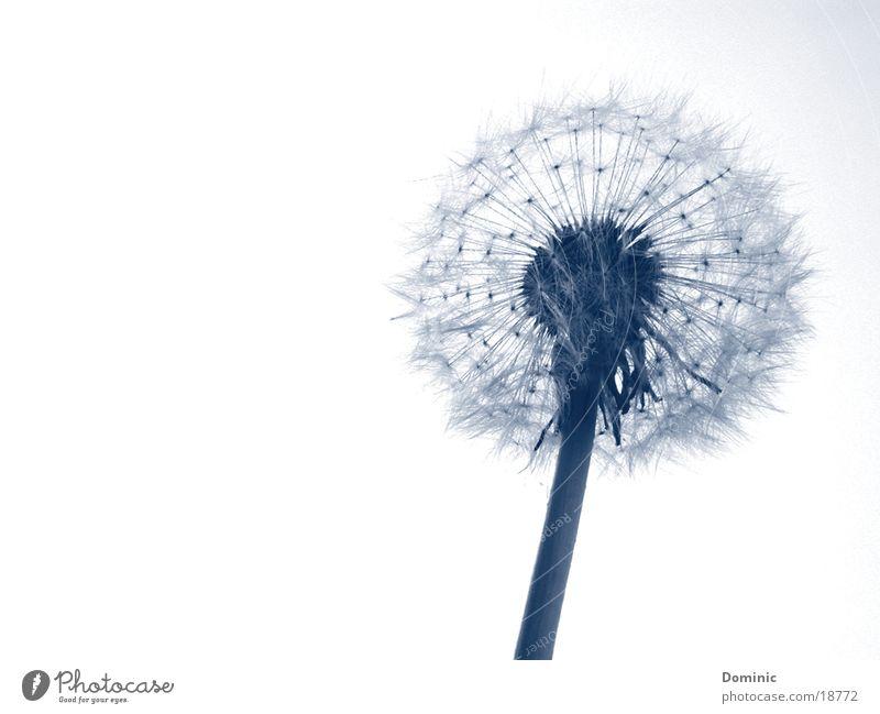 Pustekuchen (-blume) schön Himmel weiß Blume blau Pflanze Blüte Beginn zart Stengel Blühend Löwenzahn Samen zierlich