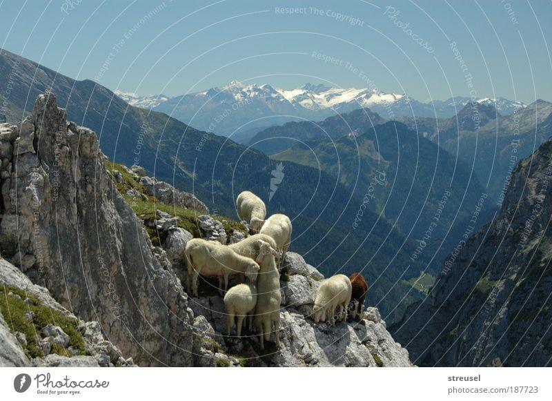 trittsichere Schafe Natur schön Ferien & Urlaub & Reisen Sommer Tier Ferne Umwelt Landschaft Herbst Berge u. Gebirge Freiheit Gras Felsen wandern frei