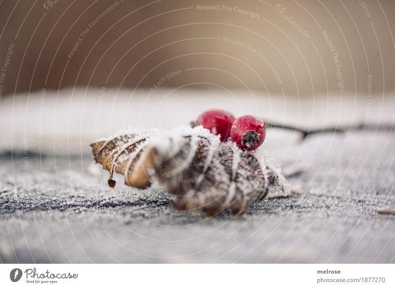 sich bedeckt halten ... Beeren Hagebutten Stil Design Umwelt Natur Sonne Winter Schönes Wetter Eis Frost Pflanze Sträucher Blüte Blatt Zweig Baumstumpf Wald