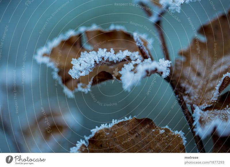 gezuckert IV Umwelt Natur Winter Klima Wetter Eis Frost Pflanze Blatt Blätter Zweige u. Äste Schneekristall Wald Eiskristall Väterchen Frost Raureif kalt