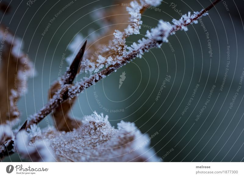 gezuckert Eis Frost Blatt Zweige u. Äste gefrorene Blätter Wald Väterchen Frost Klima angezuckert Eiskristall frieren glänzend verblüht dunkel schön einzigartig