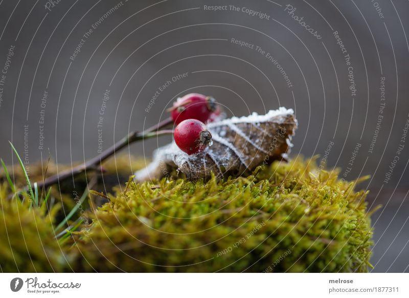 Moosbett elegant Stil Umwelt Natur Winter Schönes Wetter Eis Frost Schnee Pflanze Farn Blatt Blüte Hagebutten Beeren Wald Stillleben gebettet rote Beeren