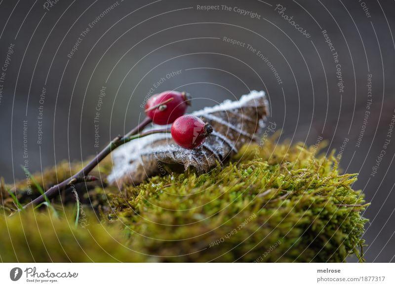 I seh rot II Beeren Hagebutten Stil Design Umwelt Natur Winter Klima Wetter Schönes Wetter Eis Frost Moosteppich rote Beeren Blatt gefroren Ast Wald Raureif