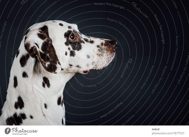 Schnauze Tier Haustier Hund Tiergesicht 1 beobachten Dalmatiner Fellfarbe scheckig weiß Farbfoto Studioaufnahme Nahaufnahme Kunstlicht Tierporträt Wegsehen