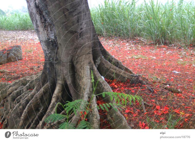 feuerbaum