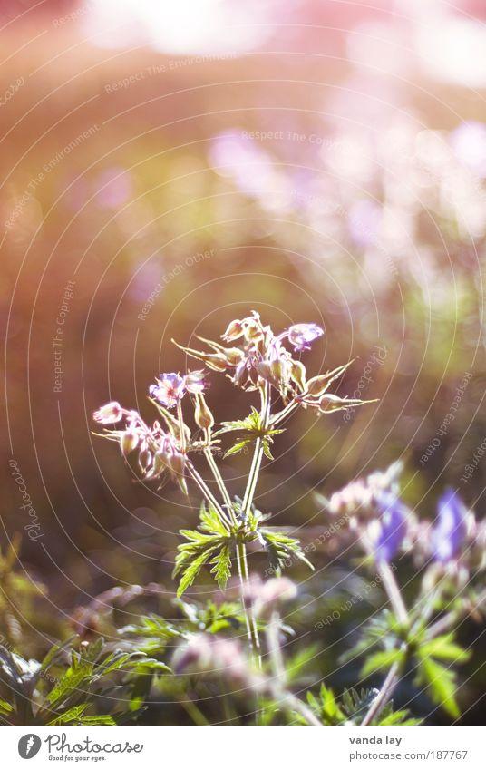 Wiesen-Storchschnabel Natur Blume Pflanze Blatt Wiese Blüte Feld Umwelt violett natürlich Licht Umweltschutz Stauden Heilpflanzen Pelargonie