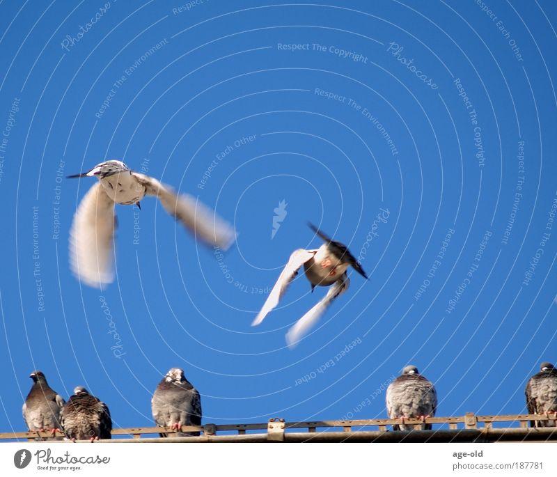 Komm, wir machen den Abflug blau weiß Winter Umwelt grau Bewegung Stil Luft Eis Vogel elegant fliegen Tier frei Freude ästhetisch