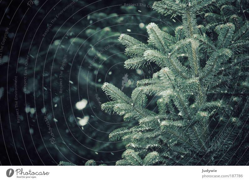 Schneegestöber Umwelt Natur Winter Klima Unwetter Wind Eis Frost Baum Tanne Nadelbaum Wald dunkel kalt blau grün Freiheit Wunsch weiß Farbfoto Gedeckte Farben