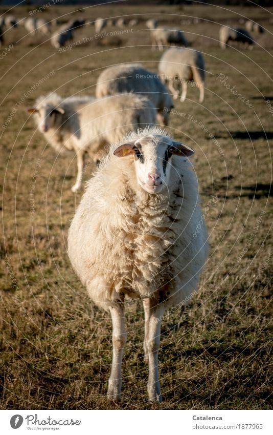 Ich bin ein Schaf! Natur Tier Winter Pflanze Gras Wiese Nutztier Schafherde 1 Herde Wolle beobachten Fressen authentisch natürlich Neugier braun gelb gold