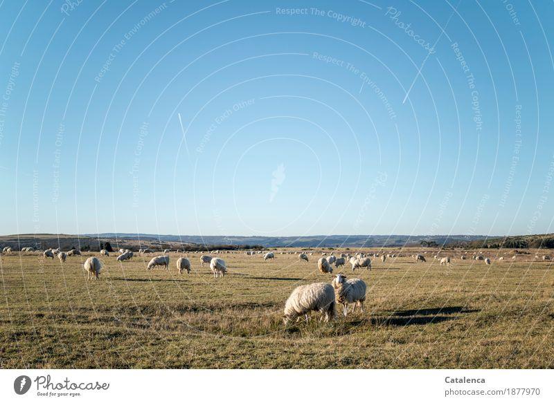 Wir sind Schafe Landschaft Pflanze Tier Himmel Wolkenloser Himmel Winter Schönes Wetter Gras Feld Naturschutzgebiet Luftverkehr Nutztier Schafherde Herde