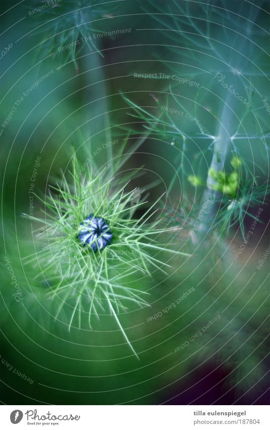 * Natur grün blau Pflanze Farbe Blüte Umwelt authentisch wild natürlich Tiefenschärfe exotisch Originalität ursprünglich essbar Heilpflanzen