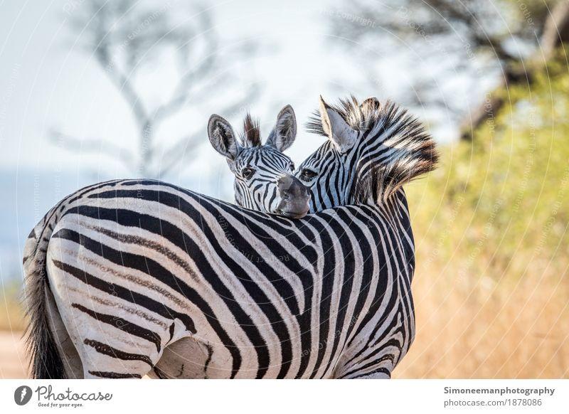 Zwei bindende Zebras Natur Fotografie Warmherzigkeit Afrika Säugetier Safari Südafrika Steppenzebra