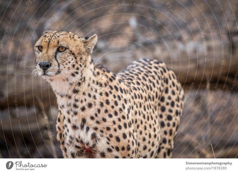 Katze Ferien & Urlaub & Reisen Natur Fotografie Afrika Säugetier Safari Südafrika Raubkatze Gepard