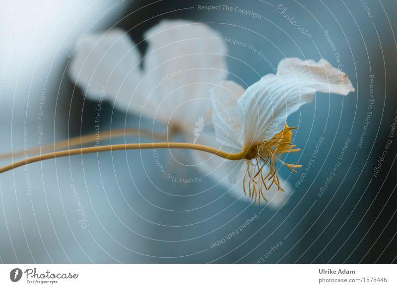 Weiße Blüten mit blauem Hintergrund Kunst Kunstwerk Natur Pflanze Sommer Herbst Blume Blütenstempel weiß gelb Pollen Garten Blumenstrauß Blühend fallen