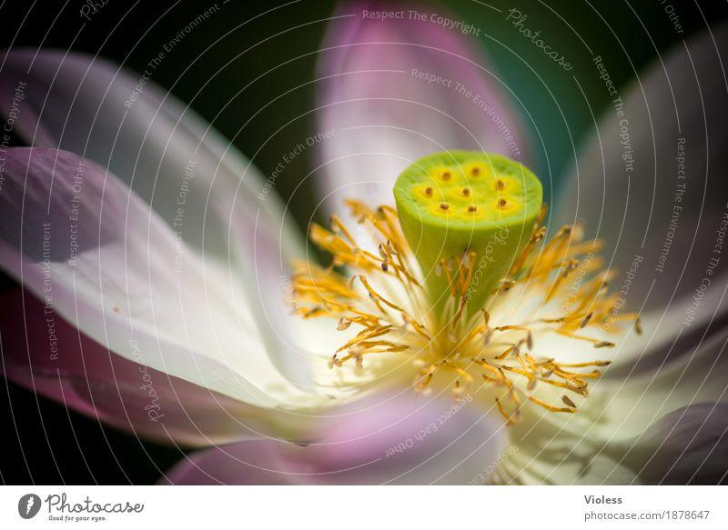 Lotos Blume Wasser Blüte Pflanze rosa aquatisch Stempel Wasserpflanze hydrophob Seerosen