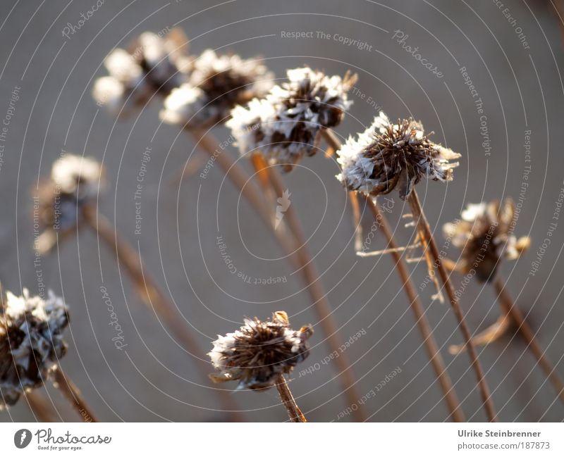 Vertrocknete Blütenköpfe auf braunen Stängeln Natur Pflanze Herbst Winter Wildpflanze verdorrt trocken vertrocknet Dürre Wiese Feld alt Vergänglichkeit Tod