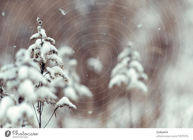 Leise rieselt ... Natur weiß schön Pflanze Winter ruhig kalt Schnee Umwelt Schneefall Stimmung braun Eis Klima Hoffnung Frost