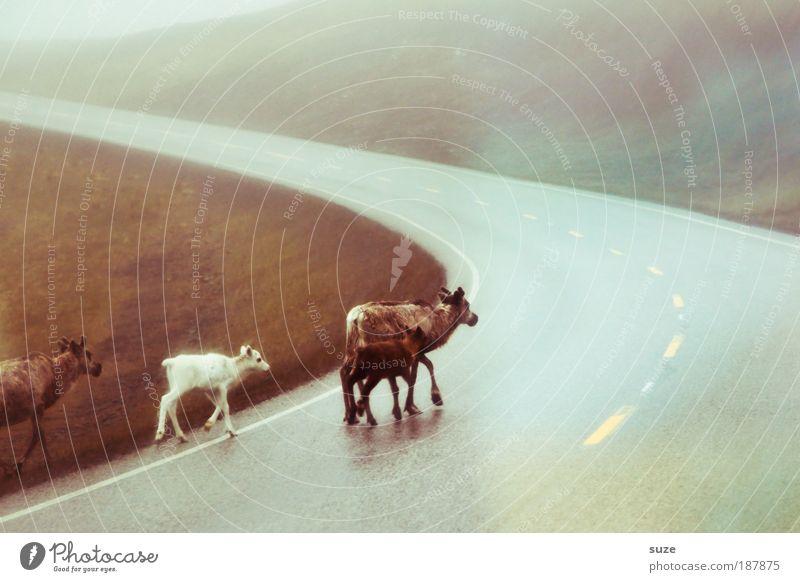 4 xmas (; Umwelt Natur Tier Straßenverkehr Nutztier Wildtier Tiergruppe Herde Tierfamilie Bewegung laufen authentisch frei wild Rentier Norwegen Skandinavien
