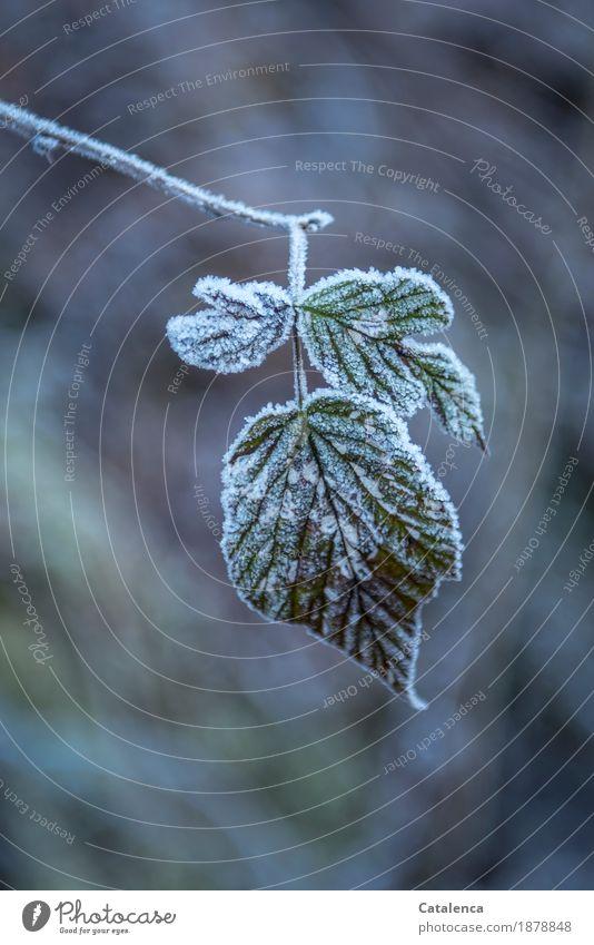Frostig verhüllt Natur Pflanze Winter Eis Blatt Brombeerblätter Wald frieren glänzend dehydrieren ästhetisch kalt braun grün weiß Stimmung authentisch Leben
