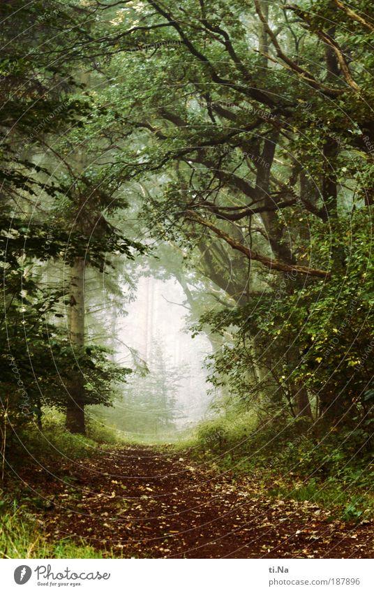 es war einmal... Natur Wald Erholung Gras träumen Landschaft Nebel Umwelt Grünpflanze Menschenleer Außenaufnahme Farbfoto entdecken Pflanze Umweltschutz