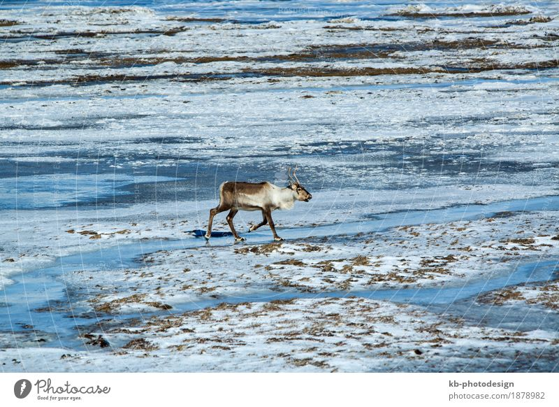 Reindeer at a lake in Iceland Natur Ferien & Urlaub & Reisen Tier Ferne Winter Tourismus Wildtier Abenteuer Island Winterurlaub Rentier