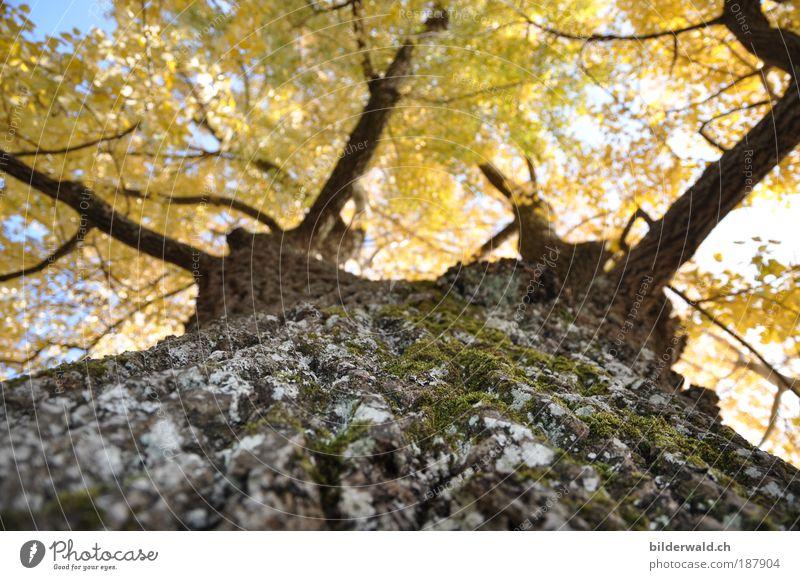 Herbstgold Natur Landschaft Pflanze Schönes Wetter Baum beobachten festhalten liegen Blick träumen Wachstum Wärme Warmes Licht Moos Blatt Ast Farbfoto