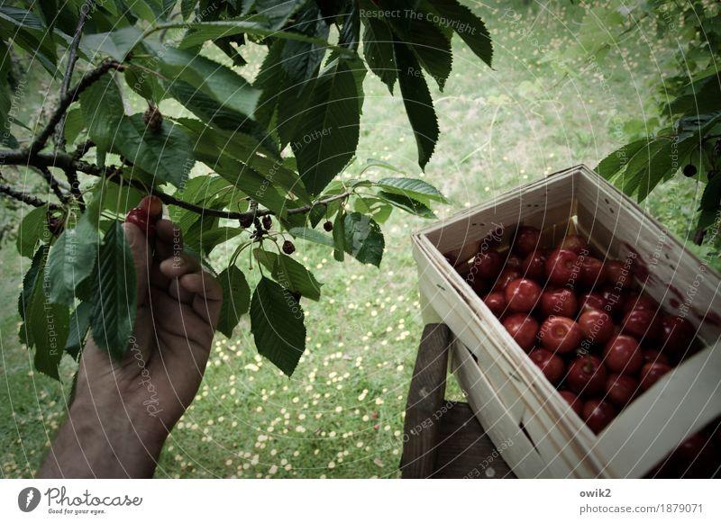 Frische Sammlung Hand Finger Umwelt Natur Landschaft Pflanze Sommer Klima Schönes Wetter Blatt Kirschbaum Kirsche Obstkorb Zweig lecker oben süß geduldig