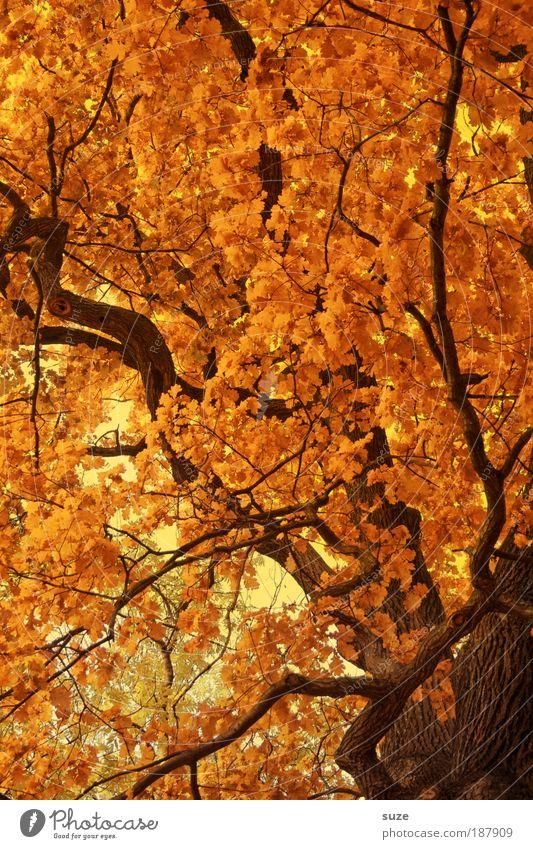 Goldener Schnitt Umwelt Natur Landschaft Urelemente Herbst Baum Blatt ästhetisch gold Zeit Herbstlaub herbstlich Jahreszeiten Laubwald Färbung Baumkrone