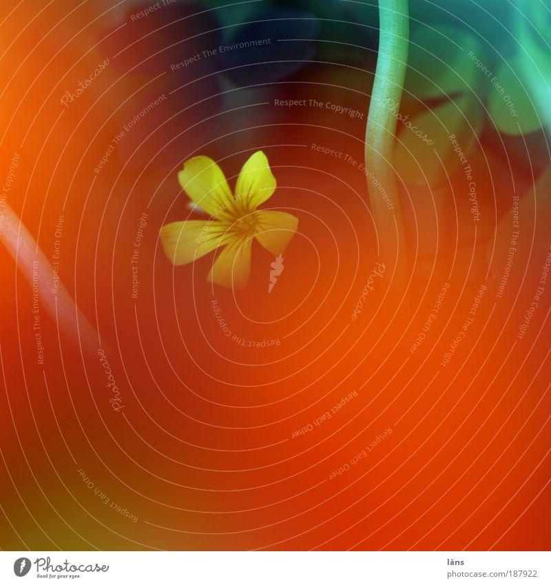 einblendung Umwelt Natur Pflanze Sommer Blume Nutzpflanze Wildpflanze Kapuzinerkresse Klee Blühend verstecken Unschärfe Farbfoto mehrfarbig Außenaufnahme
