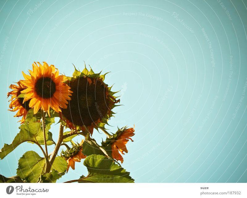 Sonnensystem Himmel Natur Pflanze blau schön Sommer Blume Umwelt gelb Garten Wetter Klima Bioprodukte Samen Vegetarische Ernährung