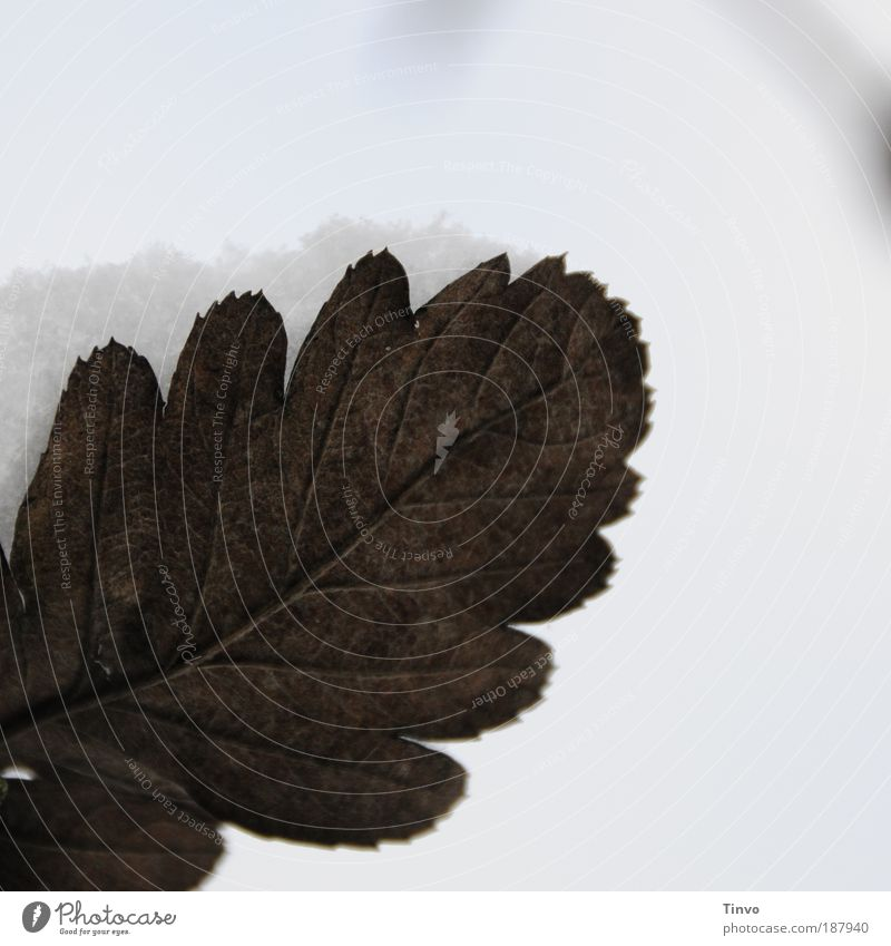 Herbst trifft Winter Natur schön Winter Blatt kalt Schnee Herbst Wetter Wandel & Veränderung Klima Blattadern