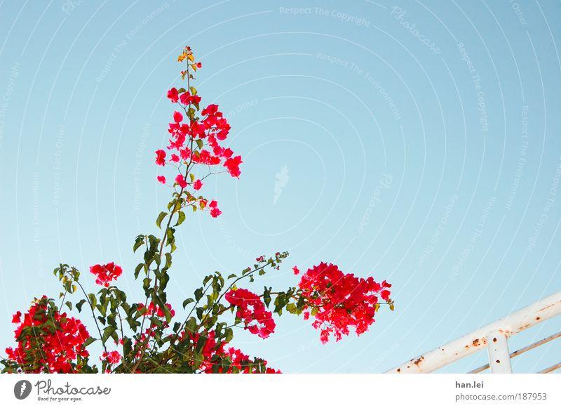 Blume schön Himmel blau Pflanze rot Sommer Erholung Blüte Schönes Wetter Geländer Treppengeländer Wolkenloser Himmel