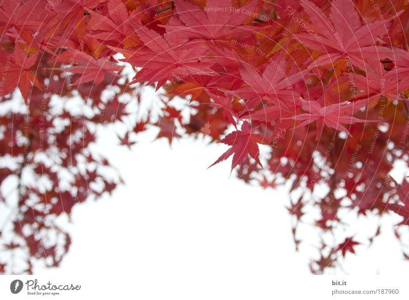 RE[E]D-DACH Umwelt Natur Pflanze Luft Himmel Wolkenloser Himmel Herbst Baum Blatt Wachstum herbstlich Ahorn Ahornblatt rot Blätterdach umrandet Rahmen