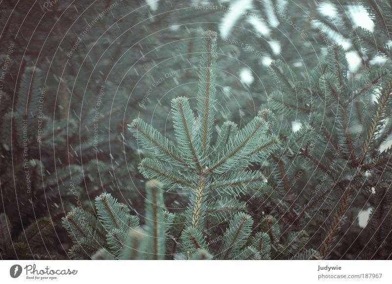 Schneegestöber III Umwelt Natur Pflanze Wasser Winter Wind Sturm Eis Frost Schneefall Baum Tanne tannenbaum Wald dunkel kalt wild blau grün Bewegung Klima Leben