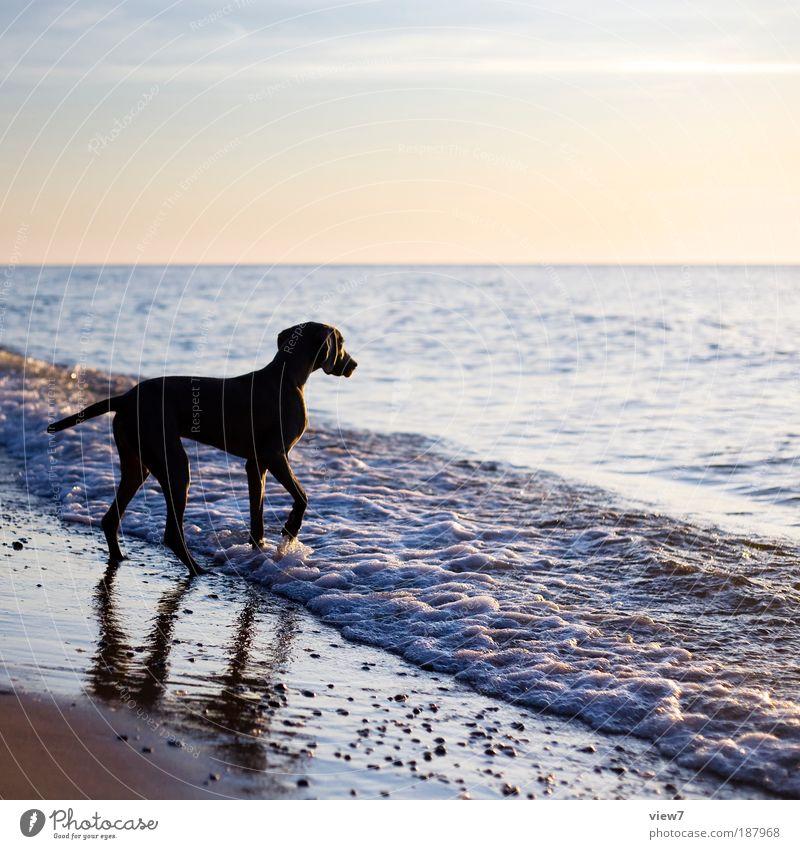 Ein Hund der sich traut ... Wasser Himmel Meer Sommer Strand Tier Freiheit Hund Wellen elegant laufen Umwelt nass authentisch beobachten Lebensfreude
