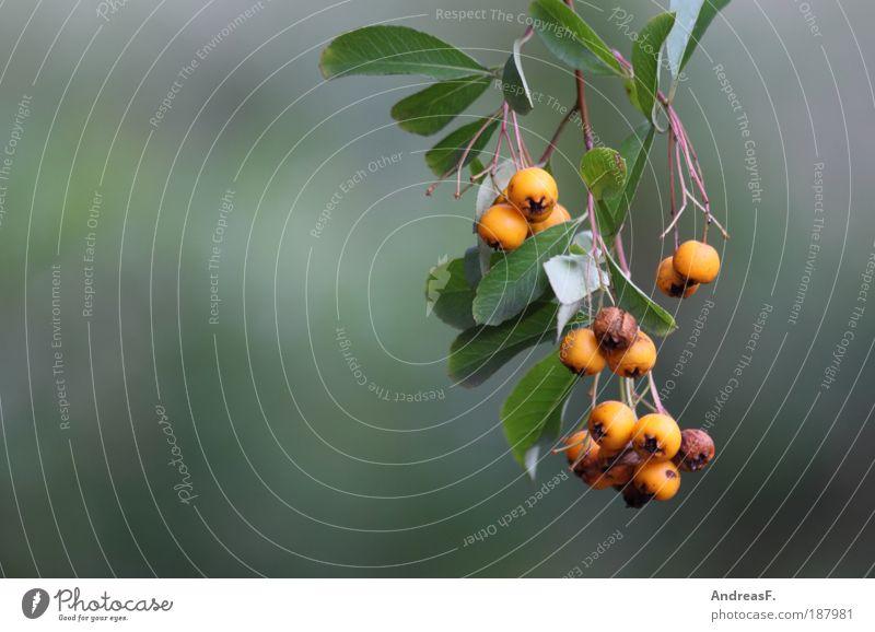 Berries Umwelt Natur Pflanze Herbst Baum Sträucher Blatt gelb grün Ast Beeren Beerensträucher orange Unschärfe Frucht Farbfoto Außenaufnahme Detailaufnahme