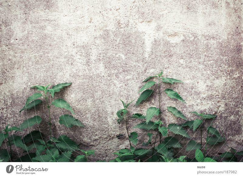 Brennpunkt Natur alt grün Pflanze Umwelt Wand Mauer natürlich wild Wachstum authentisch trist Vergänglichkeit trocken Verfall Grünpflanze